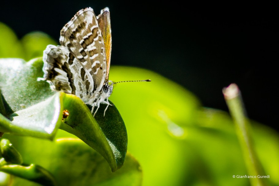 Mariposa parda.