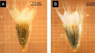 Samples of Helenium aromaticum from low frequency fire area (left) and higher fire frequency areas (Image: PNAS)