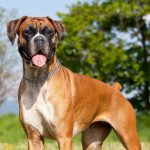 Boxer Puppies For Sale Greenfield Puppies