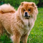 Purchase Chow Chow Breeders Midwest Up To 64 Off