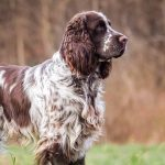English Springer Spaniel Puppies For Sale Greenfield Puppies