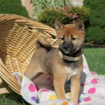 Shiba Inu Puppies For Sale California Petfinder