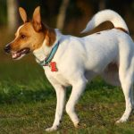 Rat Terrier Puppies For Sale Greenfield Puppies