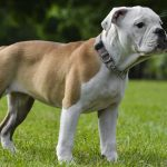 Victorian Bulldog Puppies For Sale Victorian Bulldogs Greenfield Puppies