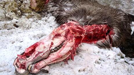 Elg spist av ulv i Aremark (Foto: Bjørn Tangen/NRK)