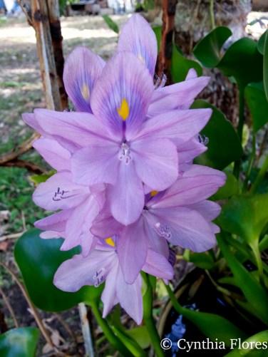 purpleliliesjudy042016-3