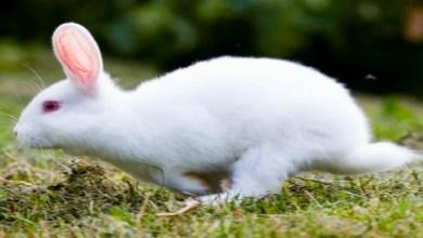 صورة في مزاد علني.. بيع أغلى أرنب في العالم