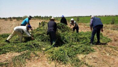 """صورة بسبب تناول مغاربة لـ""""نعناع"""" سام.. """"ONSSA"""" يدمر بعض المحاصيل بهذه الجهة"""