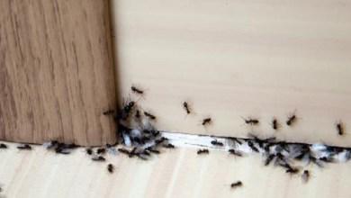 صورة 3 خلطات سحرية للتخلص من النمل داخل منزلك