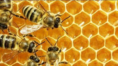 صورة سم النحل يدمر أغشية الخلايا السرطانية خلال 60 دقيقة