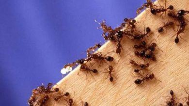 صورة مكوّنات في مطبخك تقضي على النمل بسهولة