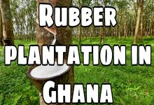 """""""Planting Rubber Is Better Than Cocoa"""" Said By Rubber Farmer, Mr. Kyeremeh"""