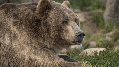 US woman killed by bear that dragged her from tent in Montana