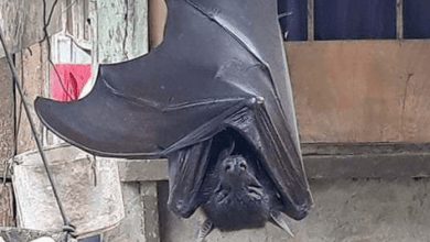 Photo of Check Photo of Huge Bat with 'human-size' Giving People Nightmares