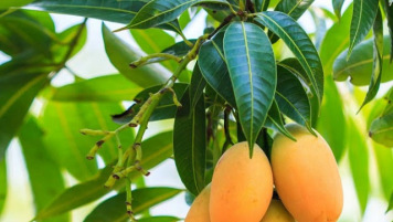 Photo of Boil Mango Leaves. Drink It Morning And Night And See These Results