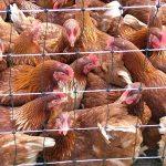 No bird-flu in Brong Ahafo – Veterinary Officer