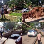 PIC- Tree Falls On Parked Vehicle At University Of Ghana