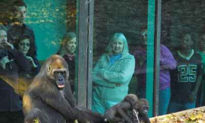 SHOCKING: 18 Out Of 20 Gorillas Contract COVID-19 At The Atlanta Zoo