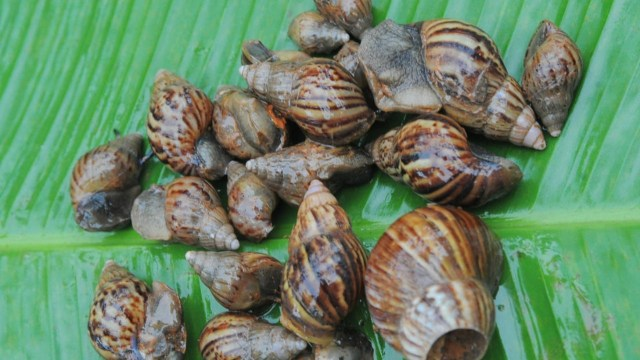 Chicago Airport Detains Ghanaian Man For Bringing Snails To America