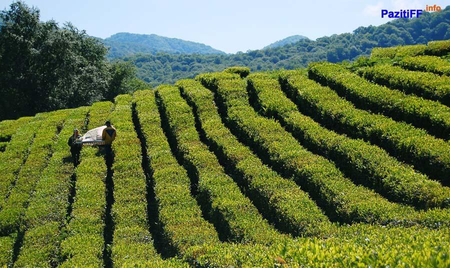 Чайные и цитрусовые плантации