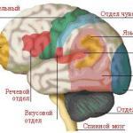 Особенности работы мозга или как учить иностранные языки
