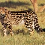 Молодая женщина подвергается нападению восьми гепардов - ее реакция удивительна!