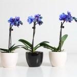 Размножаем орхидею.
