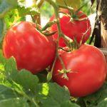 Чем опрыскивать помидоры. Советы наших читателей.