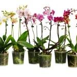 Как размножить орхидеи.