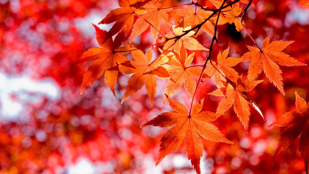 Из кленовых листьев эликсир для суставов.