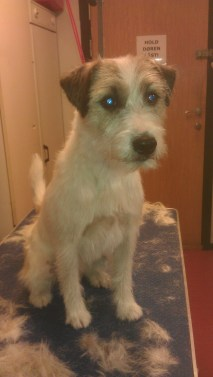 Tex - Jack Russell Terrier nyklippet