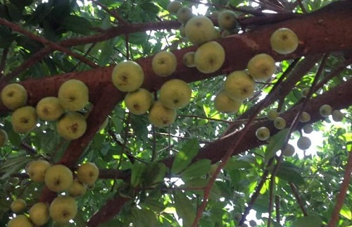 """Scientists testing possible benefits of Wiamoase """"wonder"""" tree"""