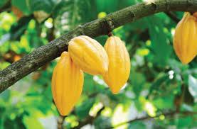 2020/2021 cocoa season opens on Friday