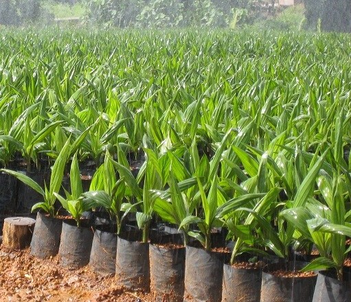 50,000 oil palm seedlings distributed to farmers in Suhum