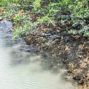 Crocodile at Panama Canal
