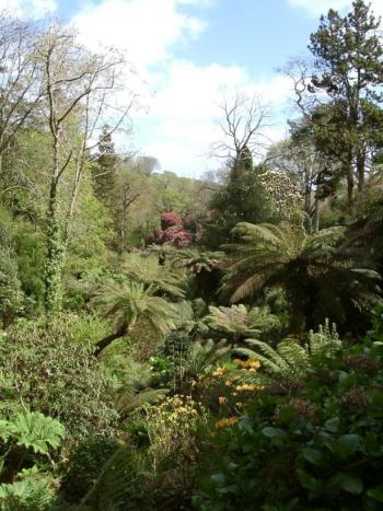 Tree ferns thrive in a protected dell area in the Lost Gardens of Heligan, in Cornwall, England, latitude 50° 15'N.