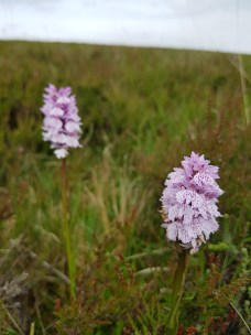 Lots of Heath Spotted Orchids at the site