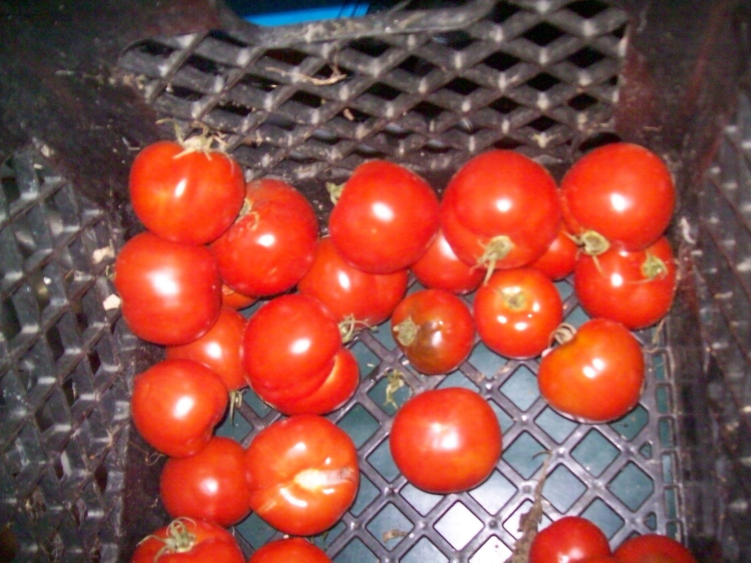 lastoftomatoes