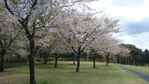 桜まつりゴルフ合宿#11