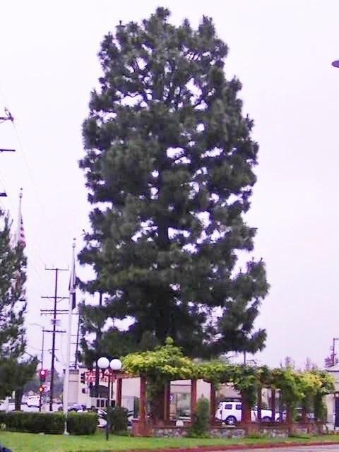 Granada Hills Christmas Tree