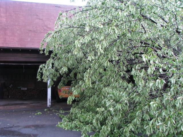 Tree Down - with mini-Cooper 15June2009
