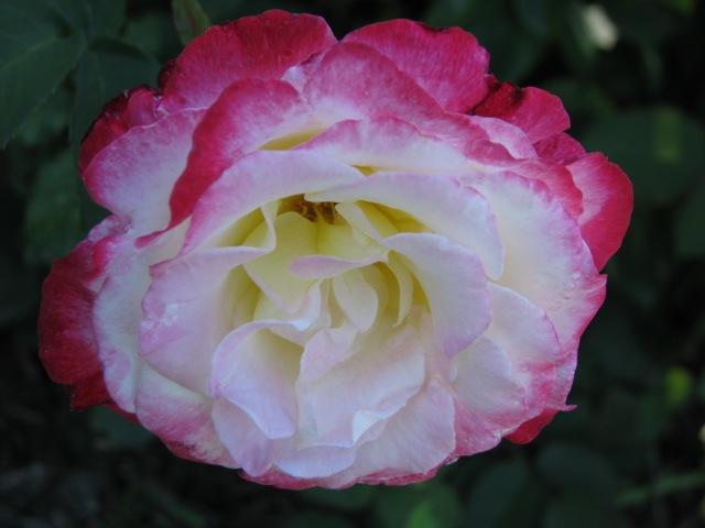 Rose Garden 2009 - rose near the Yuan sculpture