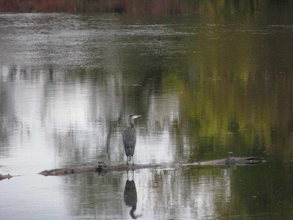 blue heron floats past the rear of 16 Washington Ave., Schenectady Stockade  - 24Oct09