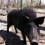 Dennis the wild boar