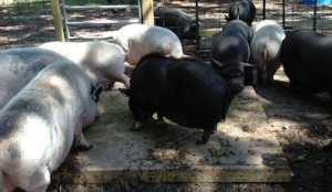 King of the Hill, pigs fighting over food