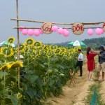 Du khách háo hức check-in cánh đồng hoa mặt trời ở Huế