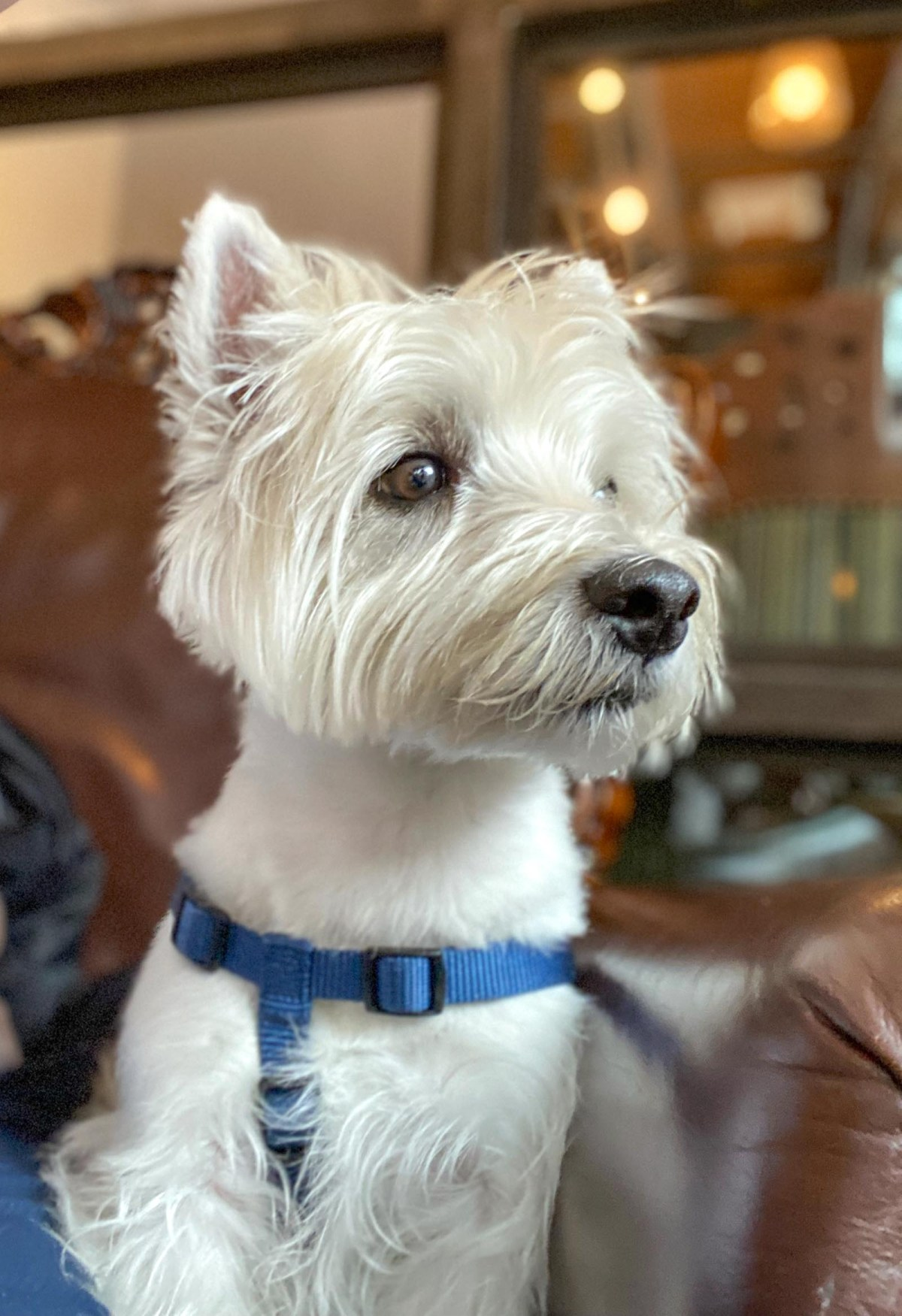 Love to travel with our Westie