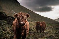 Mucca-highlands-web
