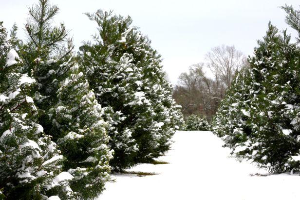 https://i1.wp.com/giantsandpilgrims.com/wp-content/uploads/2015/12/christmas-tree-farm-fojctvp7.jpg?w=616