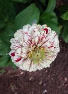 zinnias_peppermint striped zinnia